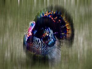 wild-turkey_765_600x450