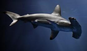 shark.jpgکوسطه