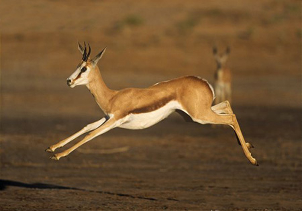 ARKive image GES027156 - Springbok