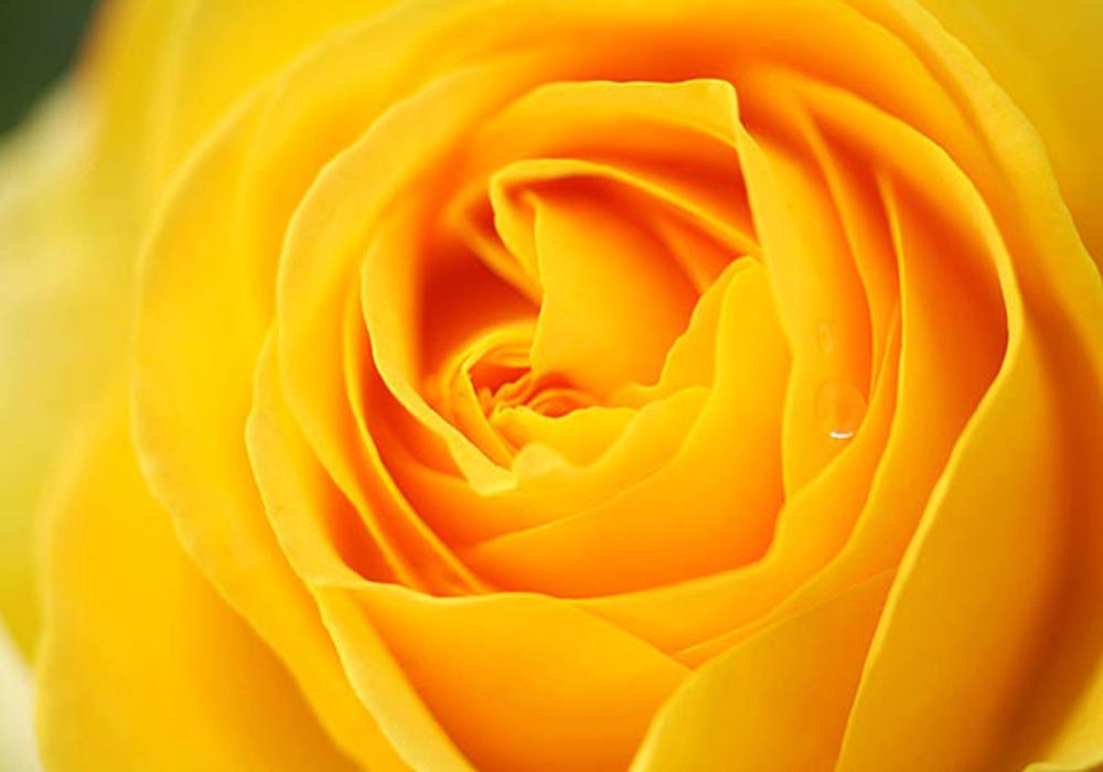 گل سرخ2222